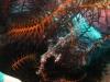 Geisterfetzenfisch2
